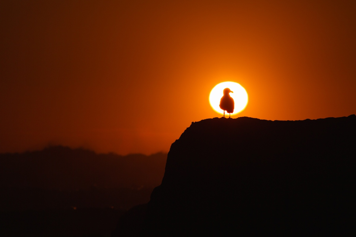 Sunset silhouette of a seagull